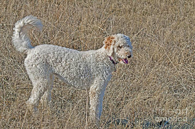 Golden Doodle Photograph - Goldendoodle by William H. Mullins