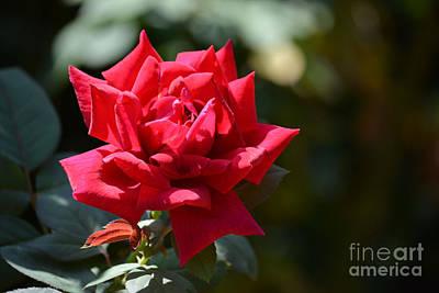 Gorgeous Rose Original