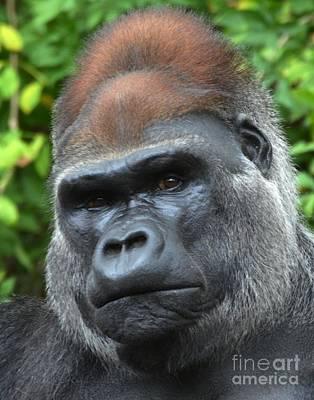 Digital Art - Gorilla by Dale   Ford