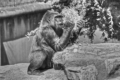 Photograph - Gorilla Eats Black And White by SC Heffner