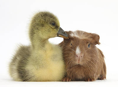 House Pet Photograph - Gosling And Baby Guinea Pig by Mark Taylor
