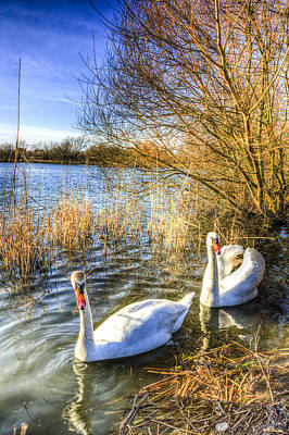 Swan Pair Photograph - Graceful Swans by David Pyatt