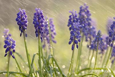 Purple Grapes Digital Art - Grape Hyacinth Muscaris Neglectum In The Rain by Odon Czintos