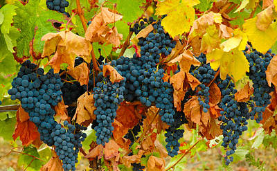 Grapes At Gaillac France Vineyard Art Print