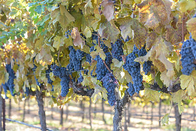 Grapevine Photograph - Grapes On The Vine In Autumn by Brandon Bourdages