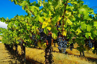 Pastoral Vineyard Photograph - Grapes On The Vine by Jeff Swan