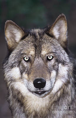 Art Print featuring the photograph Gray Wolf Portrait Endangered Species Wildlife Rescue by Dave Welling