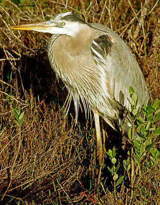 Photograph - Great Blue Heron Ardea Herodias by Millard H. Sharp