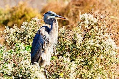Photograph - Great Blue Heron- Payne's Prairie by Ben Graham