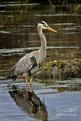Photograph - Great Blue Heron by Carrie Cranwill