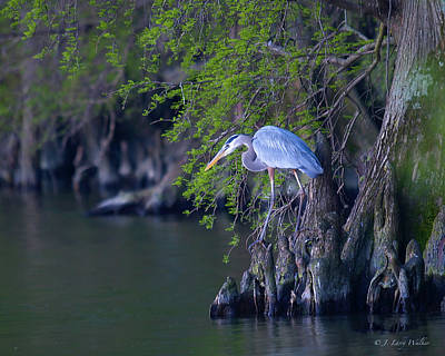 Digital Art - Great Blue Heron Fishing by J Larry Walker