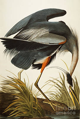 Poster Colors Painting - Great Blue Heron by John James Audubon