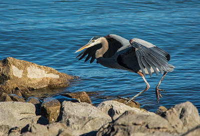 Photograph - Great Blue Heron by Linda Shannon Morgan