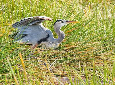 Photograph - Great Blue Heron by Rudy Umans