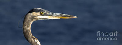 Photograph - Great Blue Heron by Ursula Lawrence