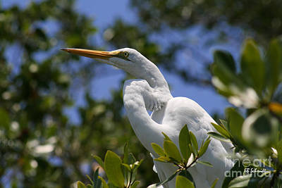 Photograph - Great Egret 02 by E B Schmidt