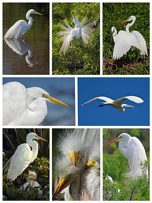 Photograph - Great Egret Collage by Dawn Currie