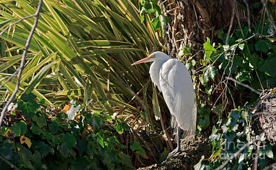 Art Print featuring the photograph Great Egret by Kate Brown