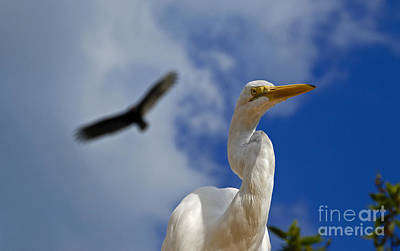 Photograph - Great Egret Showing Its Coiled S-shapped Neck by Phil Cardamone