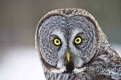 Great Gray Owl Portrait Art Print