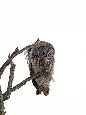 Great Grey Owl  Art Print by William Cooke