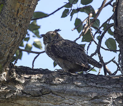 Photograph - Great Horned Owl by Doug Lloyd