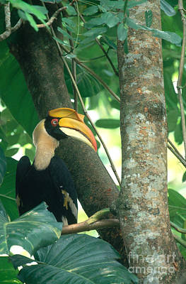 Thailand Wildlife Photograph - Great Pied Hornbill by Art Wolfe