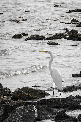 Photograph - Great White Egret by Carolyn Marshall