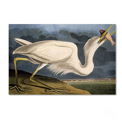 Drawing - Great White Heron by Celestial Images