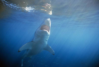 Big Belly Photograph - Great White Shark by Jeff Rotman