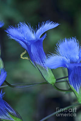 Photograph - Greater Fringed Blue Gentian by Gregory Scott