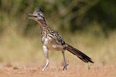 Roadrunner Wall Art - Photograph - Greater Roadrunner (geococcyx by Larry Ditto