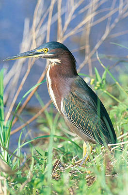 Photograph - Green Backed Heron by Millard H. Sharp