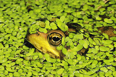 Frogs Photograph - Green Frog Hiding In Duckweed by David Davis