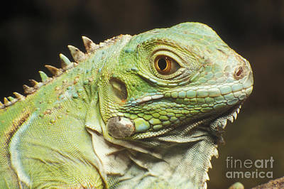 Photograph - Green Iguana by Dan Suzio
