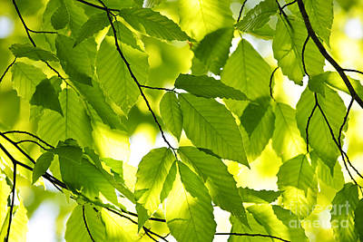 Lush Photograph - Green Spring Leaves by Elena Elisseeva