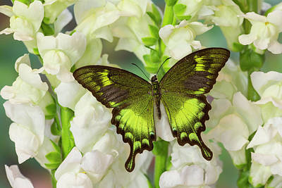 Snapdragons Photograph - Green Swallowtail Butterfly Papilio by Darrell Gulin