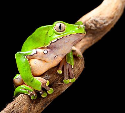 Photograph - Green Tree Frog Amazon Rain Forest by Dirk Ercken