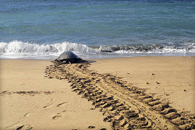 Green Sea Turtle Photograph - Green Turtle Returning To Sea by M. Watson