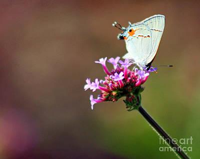 Photograph - Gray Hairstreak Butterfly On Verbena by Karen Adams