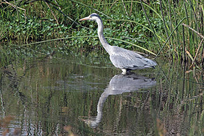 Photograph - Grey Heron  by Tony Murtagh