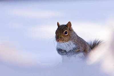 Grey Squirrel In Snow Art Print by Jeff Sinon
