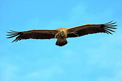 Griffon Wall Art - Photograph - Griffon Vulture In Flight by Bildagentur-online/mcphoto-schaef