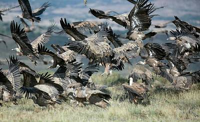 Griffon Wall Art - Photograph - Griffon Vultures by Nicolas Reusens