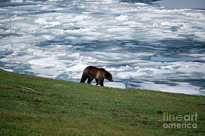 Art Print featuring the photograph Grizzly Bear On Frozen Lake Yellowstone by Shawn O'Brien