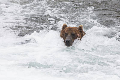 Nature Of Bear. Nature Of Bear In Water.grizzly Photograph - Grizzly Bear Ursus Arctos Fishing by Lucas Payne