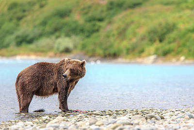 Grizzly Bears Also Called Brown Bears Print by Tom Norring