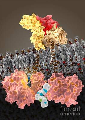 Jak Photograph - Growth Hormone Receptor, Molecular Model by Ram�n Andrade, 3Dciencia