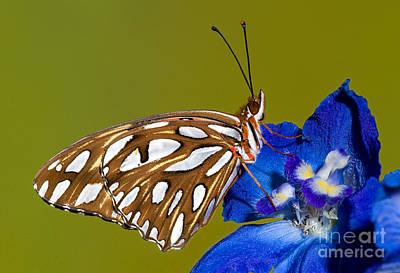 Gulf Fritillary Butterfly Art Print by Millard H. Sharp