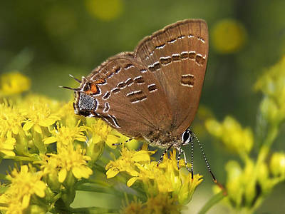 Photograph - Hairstreak Butterfly Art by Christina Rollo
